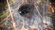 Araña Lobo